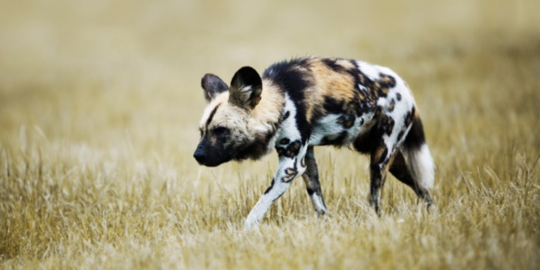 Traveller 24 - #ShockWildlifeTruths: Less than 450 African Wild Dogs left in SA